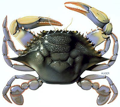 http://www.jacqueauger.com/.../natural/blue_crab.jpg