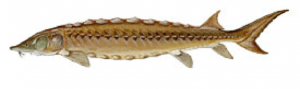 Shortnose Sturgeon