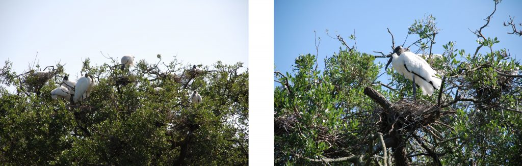 Two photographs of wood storks