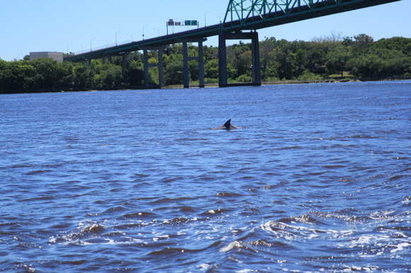 Figure H-3. Dolphin in the Lower St. Johns River.